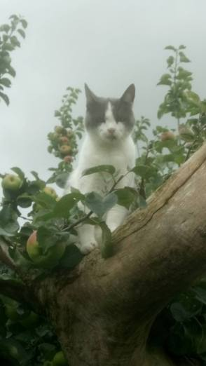 Grey and white cat in an apple tree