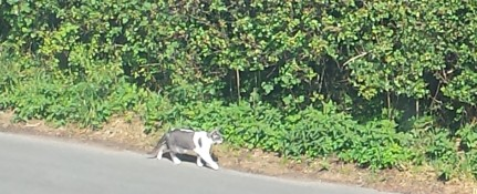 Grey and white cat walking along a hedgerow