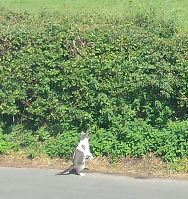 Grey and white cat on hind legs by hedgerow