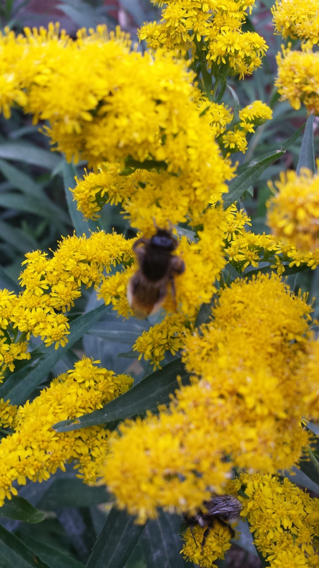 Bee in Goldenrod flower