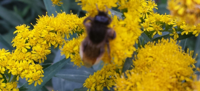 Bee in Goldenrod flower