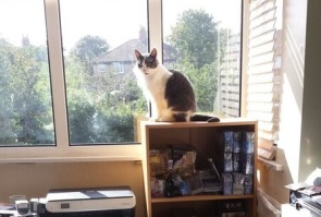 Grey and white cat on top of bookcase