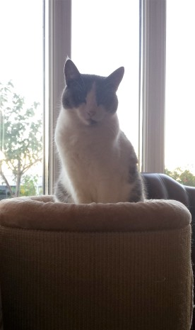 Grey and white cat sitting on top of scratching post