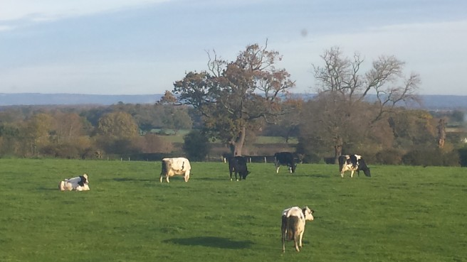 Field with cows and Autumn trees