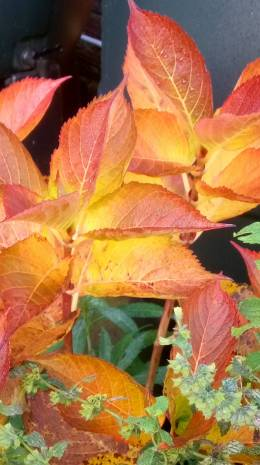 Hydrangea plant with autumn leaves