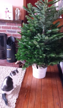 Grey and white cat by a Christmas tree