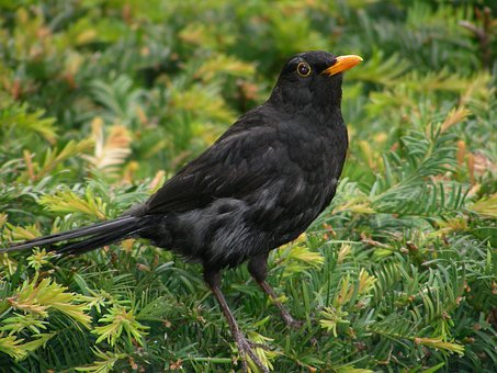 Blackbird amongst greenery