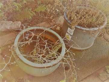 Patio pots containing dead plants