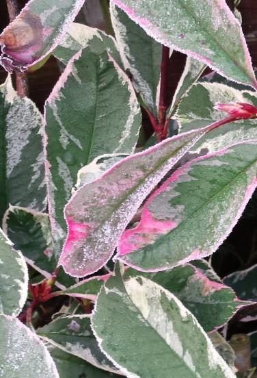 Frosty photinia leaves