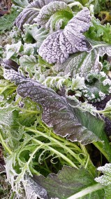 Frosty salad leaves