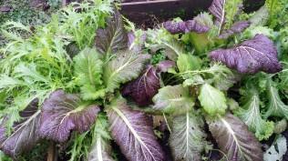Abundantly growing mixed salad leaves