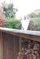 Grey and white cat walking up roof of an outdoor log store