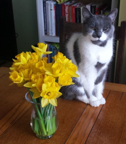 Grey and white cat sitting on a wooden table next to a glass vase of daffodils