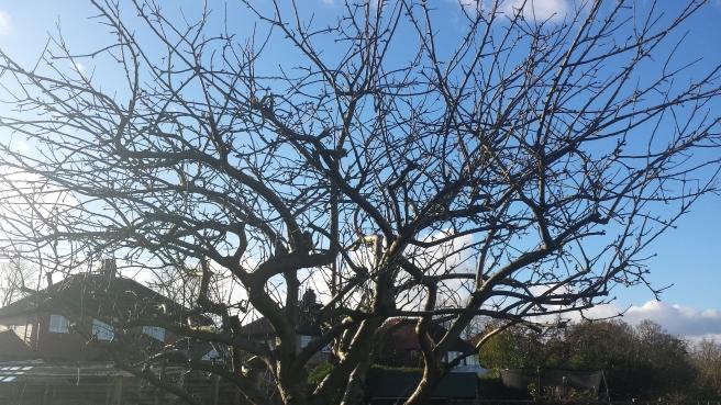 Apple tree leafless canopy in winter