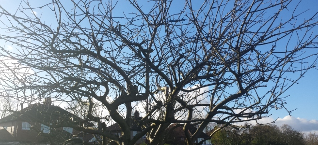 Apple tree leafless canopy in winter