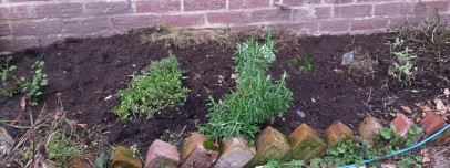 Herbs planted in outside bed next to red brick wall