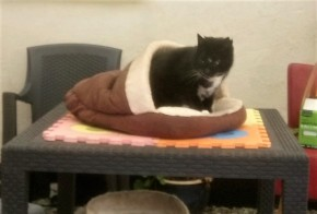 Black cat with white bib in a cat bed on a garden table