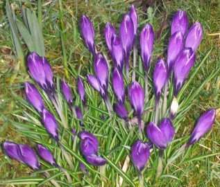 Clump of purple crocuses in bloom
