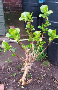 Hydrangea bush with new leaves