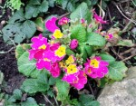 Bright pink and yellow primroses growing in a garden