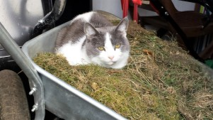 Grey and white cat in a wheelbarrow full of thatch and moss