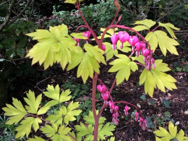Dicentra - lime green foliage with pink heart shaped flowers