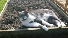 Grey and white cat lying in a raised garden bed