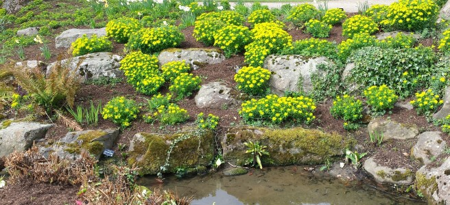 Yellow clumps of flower in a waterside rockery