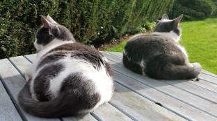 Two grey and white cats lying on a blue patio table looking out in opposite directions