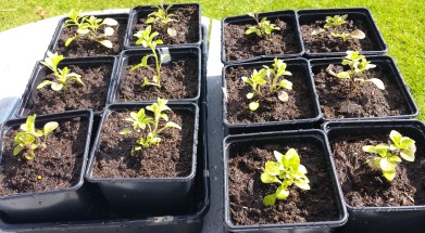 12 young petunias planted in black square pots