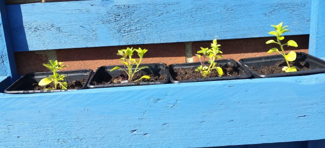4 small plants in pots in a blue shelf-style planter