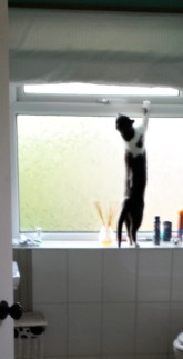 Grey and white cat on hind legs on a windowsill, trying to get out of the window