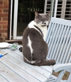 Grey and white cat sitting with eyes closed on a pale blue patio table