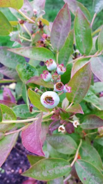 Blueberry bush with berries starting to form