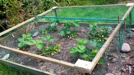 Fruit cage covering strawberry plants in a small raised bed