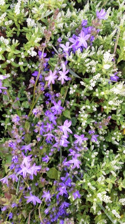 White hebe with purple clematis running through it