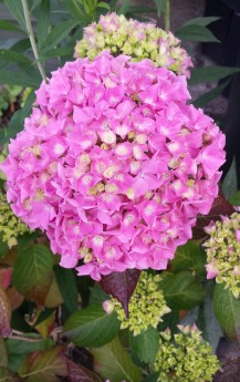 Pink hydrangea in full bloom