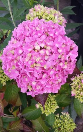 Pink hydrangea in full bloom