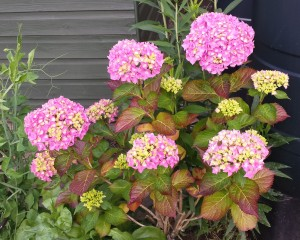 Pink hydrangea in bloom