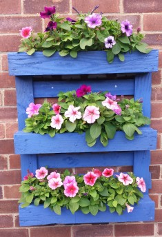 Blue wooden planter on a wall, filled with petunias