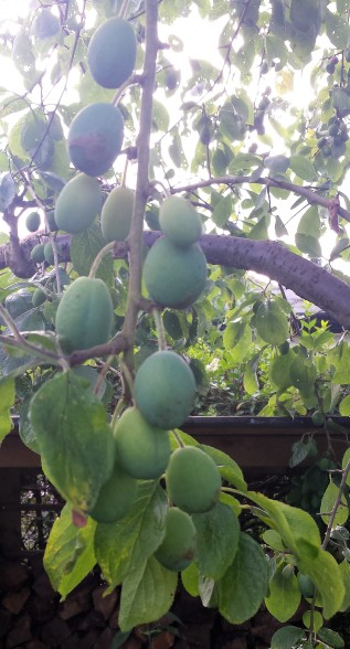 Unripe plums forming vertically on a tree branch