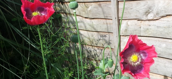 2 flowering red poppies with purple and yellow centres