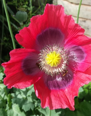 Poppy flower with 2 bees inside