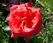 Pale red rose in full bloom