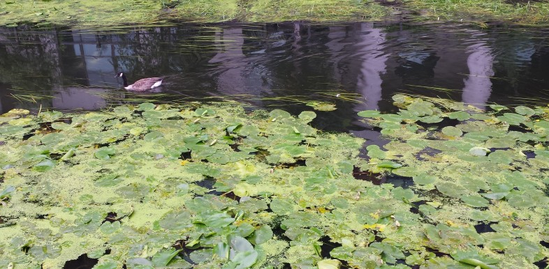 Black-necked Canadian goose swimming down the river with water lilies in the foreground