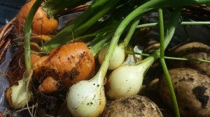 Carrots, small onions and potatoes in close up, all covered in dirt, newly harvested