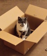 Grey and white cat in a brown cardboard box