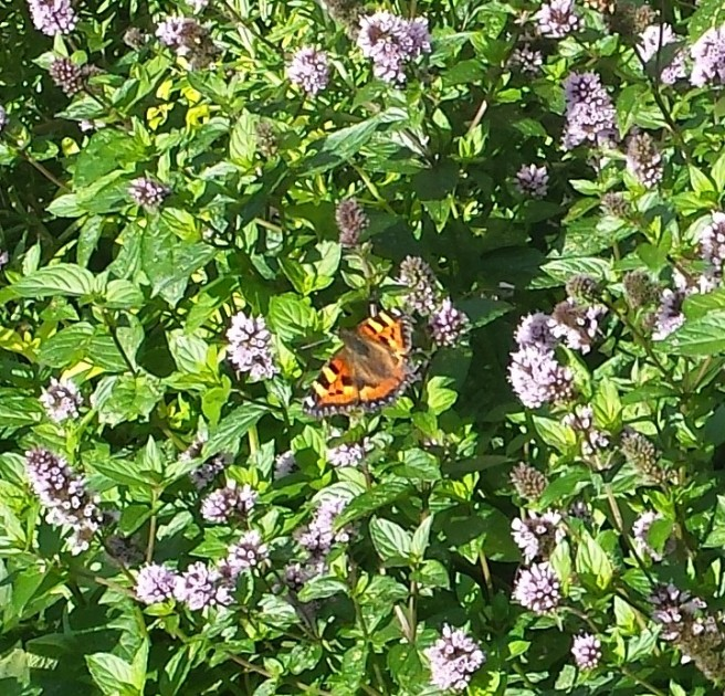 Peacock butterfly on flowering mint