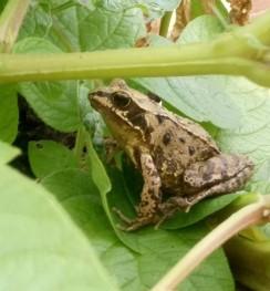 Frog sitting on a potato leaf