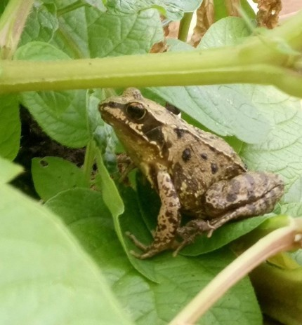 Frog sitting on a potato leaf